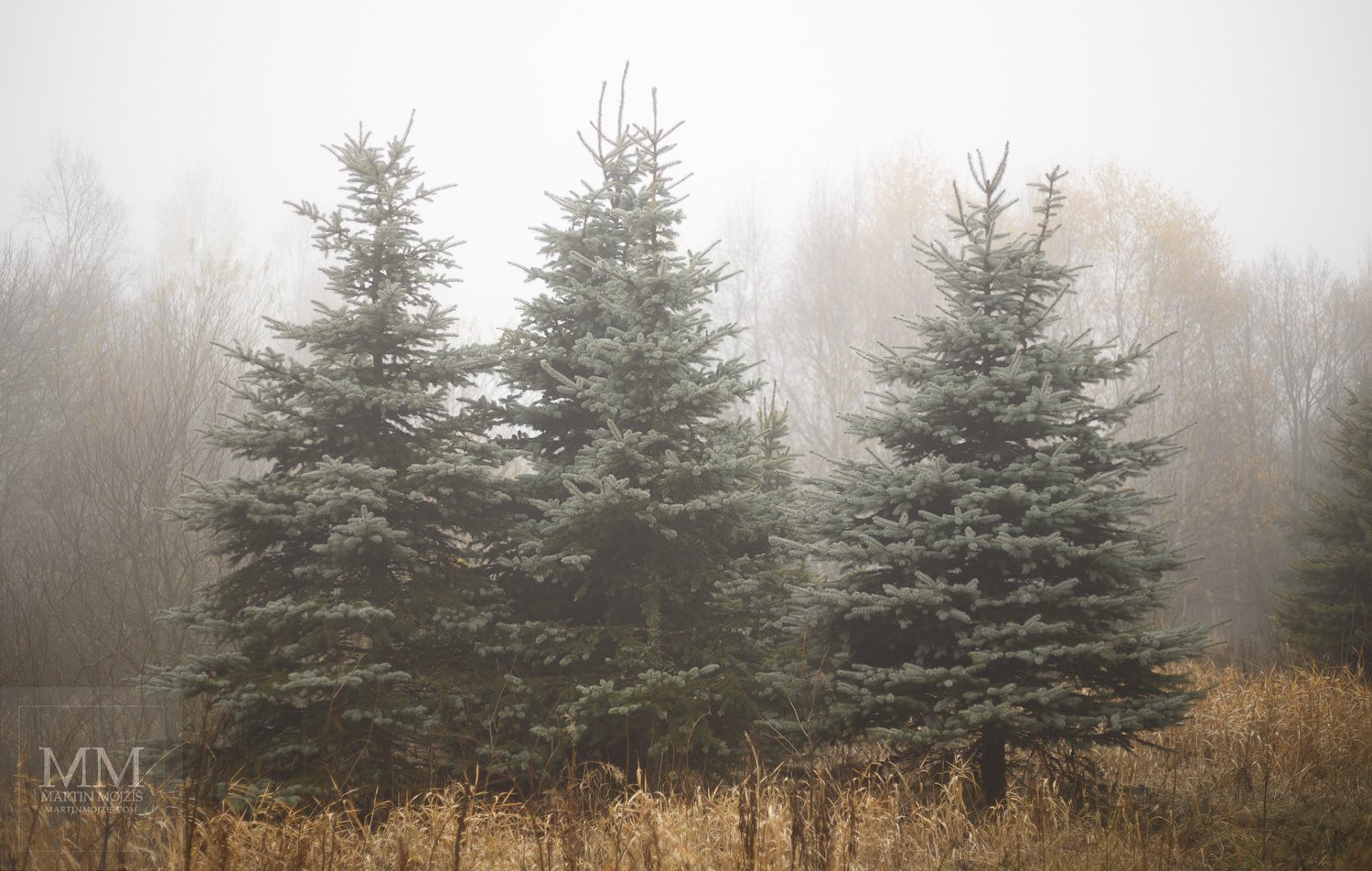 Large format, fine art photograph of silver spruces in fog. Martin Mojzis.